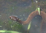 Giant water snake